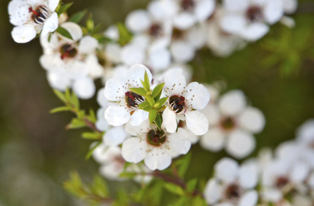 Flor de Manuka - Ingredientes Naturales
